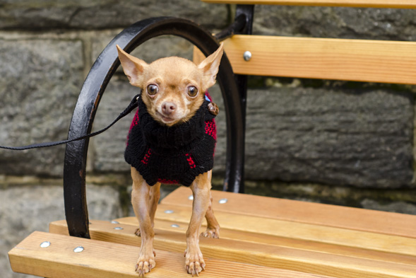 Chihuahua standing on park bench