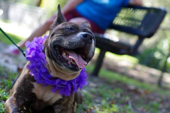 Former dog fighting victim wearing a purple flower lei