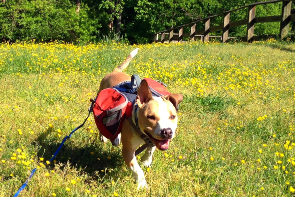 Former dog fighting victim out on a walk