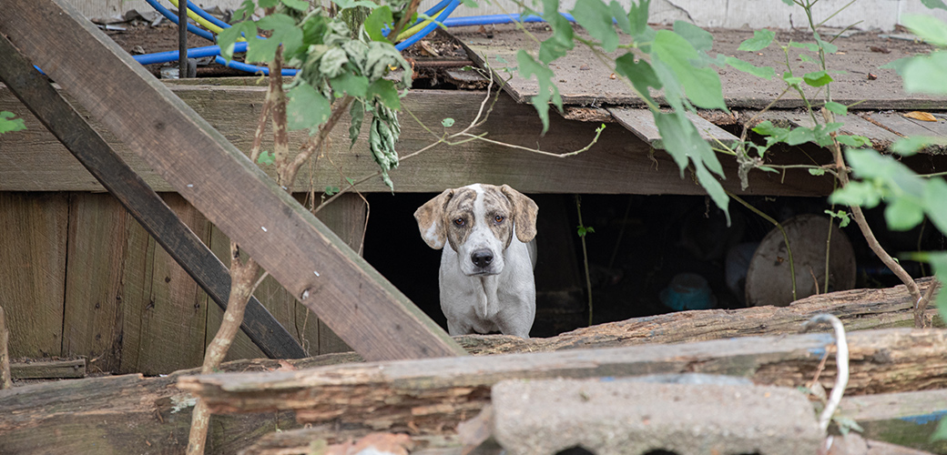 Dog in ruined shed