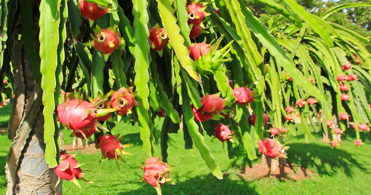 Night Blooming Cereus   ASPCA