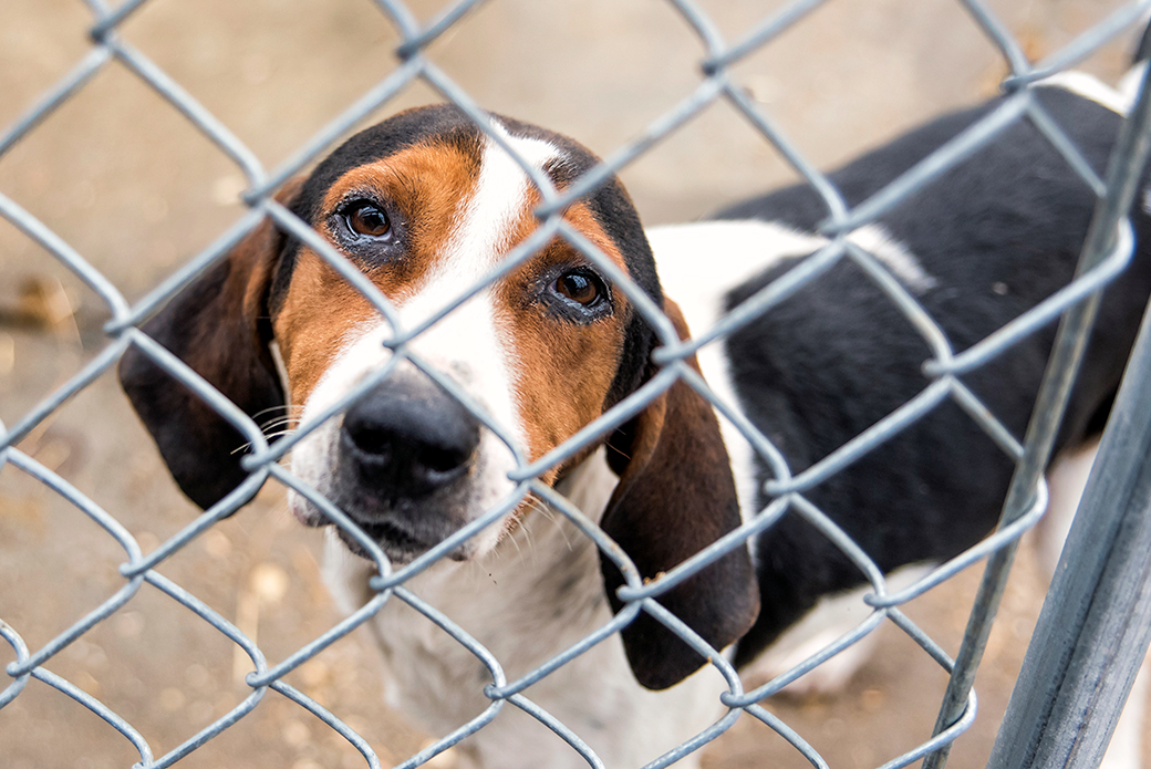 sad Beagle mix looking through fence