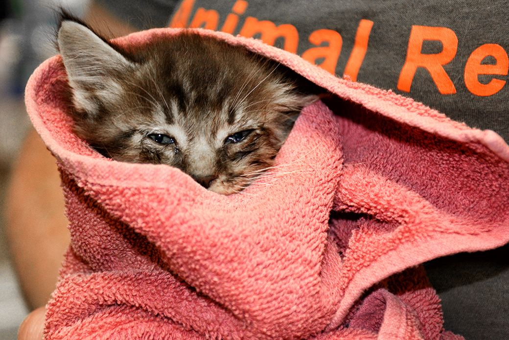 rescued kitten in blanket - FIR Disaster Wildfires