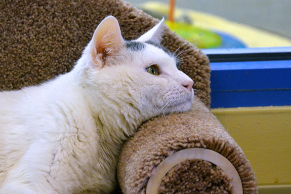 White cat resting chin on chair