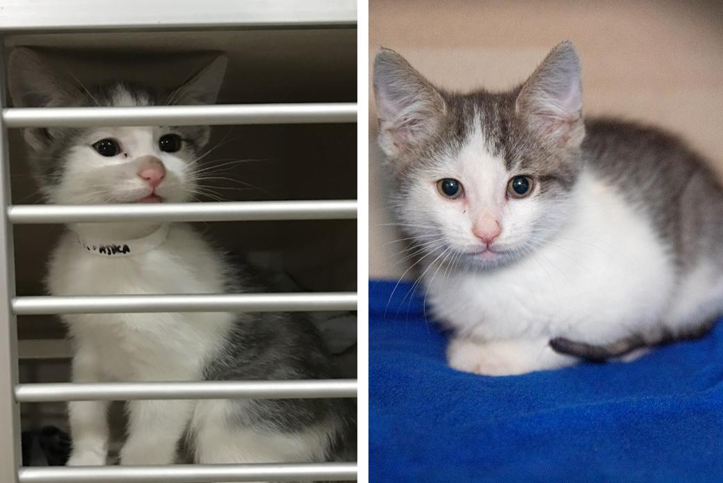 Gray and white kitten at the kitten nursery