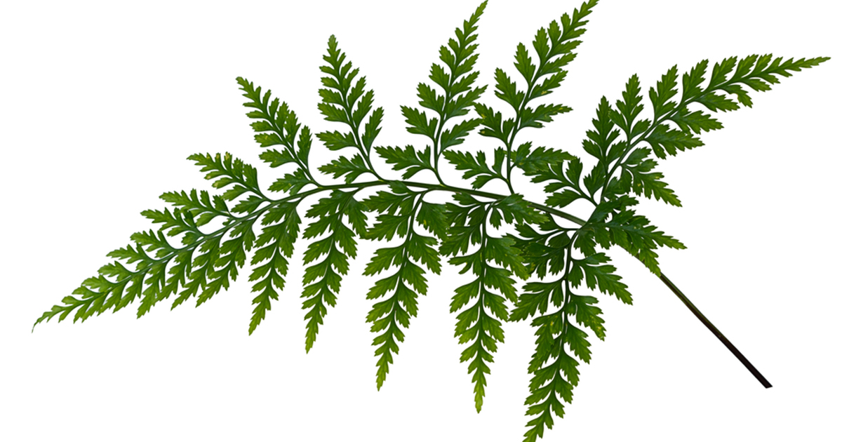 parsley fern aspca