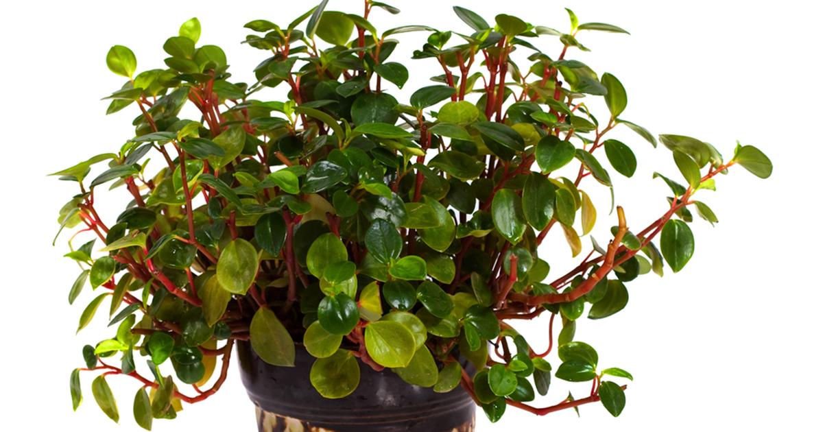 Peperomia Rotundifolia Aspca