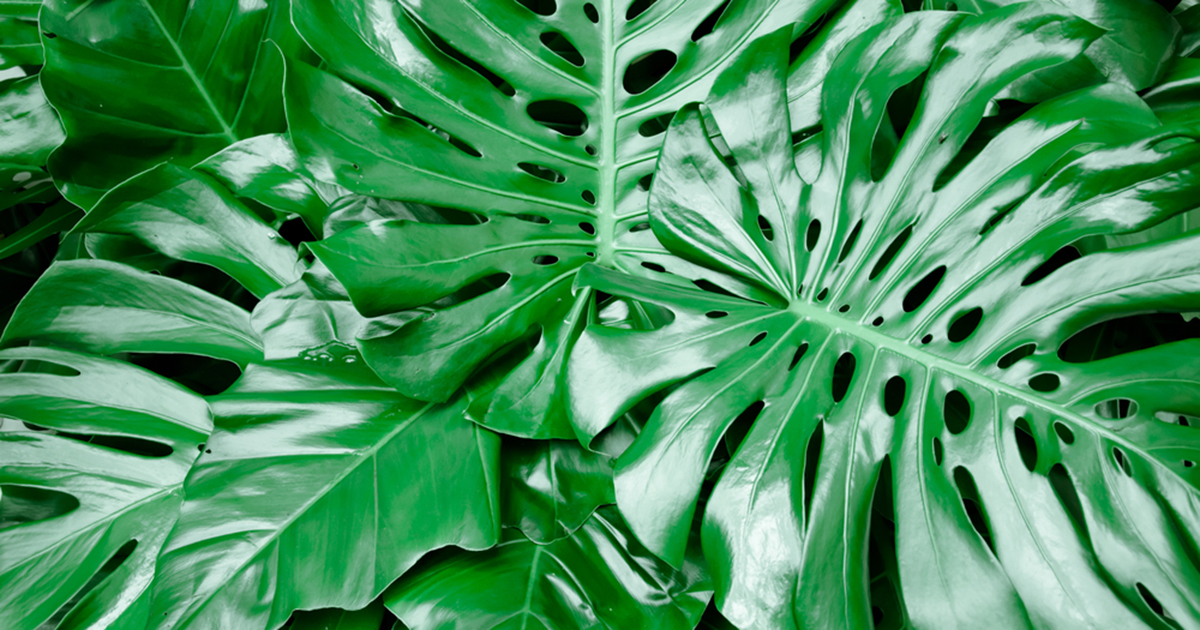Philodendron pertusum aspca - Plantas ornamentales de interior ...