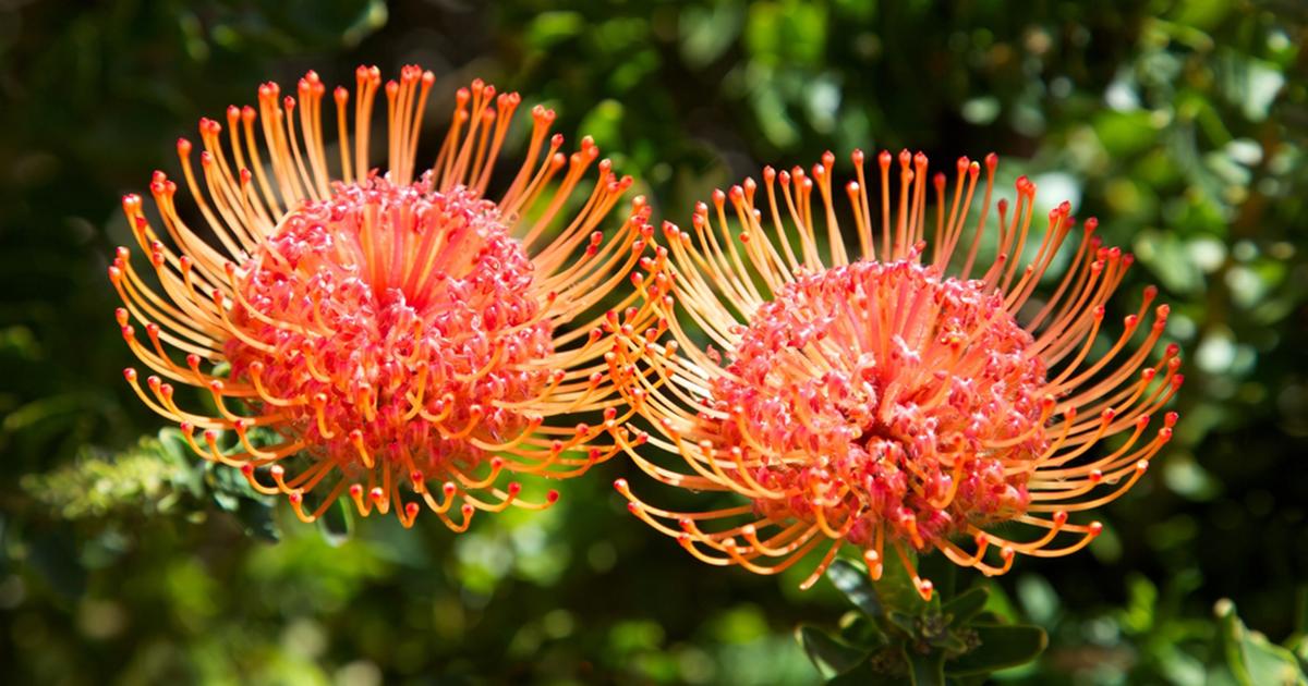 Pincushion Flower Aspca