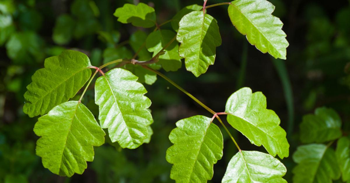 Poison Oak Aspca
