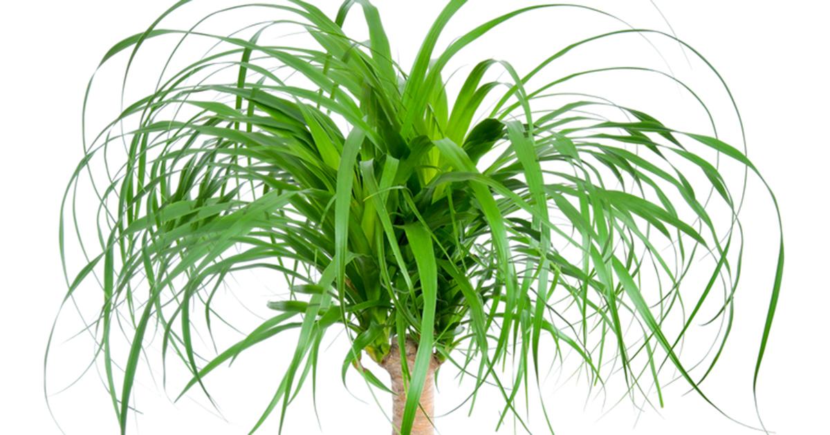 Pony tail aspca for Ponytail palm cats