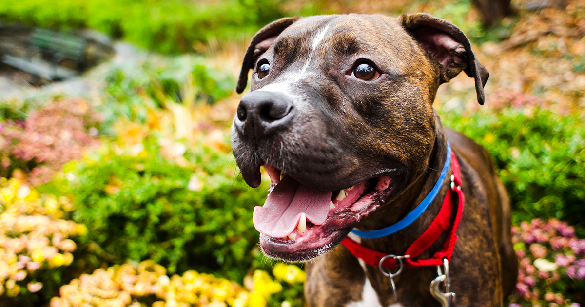 Position Statement on Pit Bulls | ASPCA