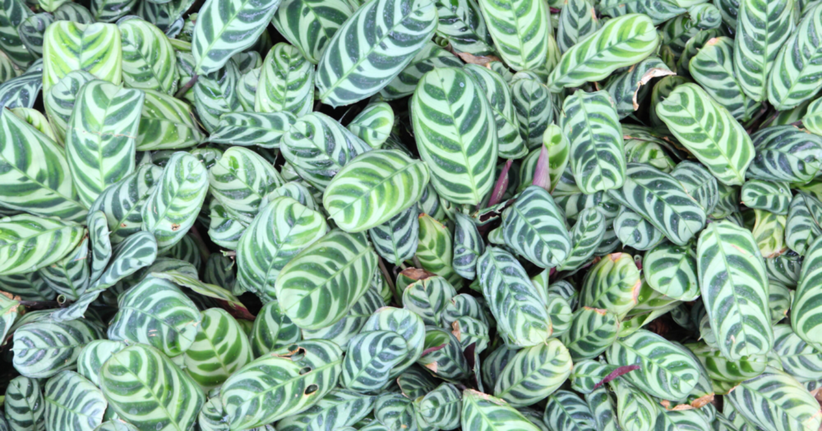 prayer plant aspca