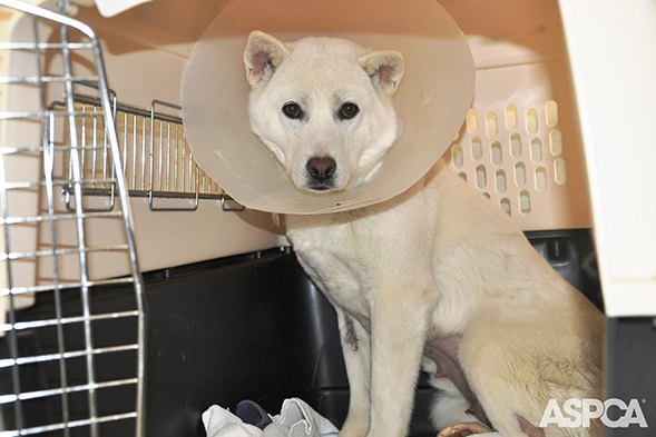 ASPCA, St. Hubert's Animal Welfare Center Rehabilitate Dogs Saved from South Korean Meat Farm