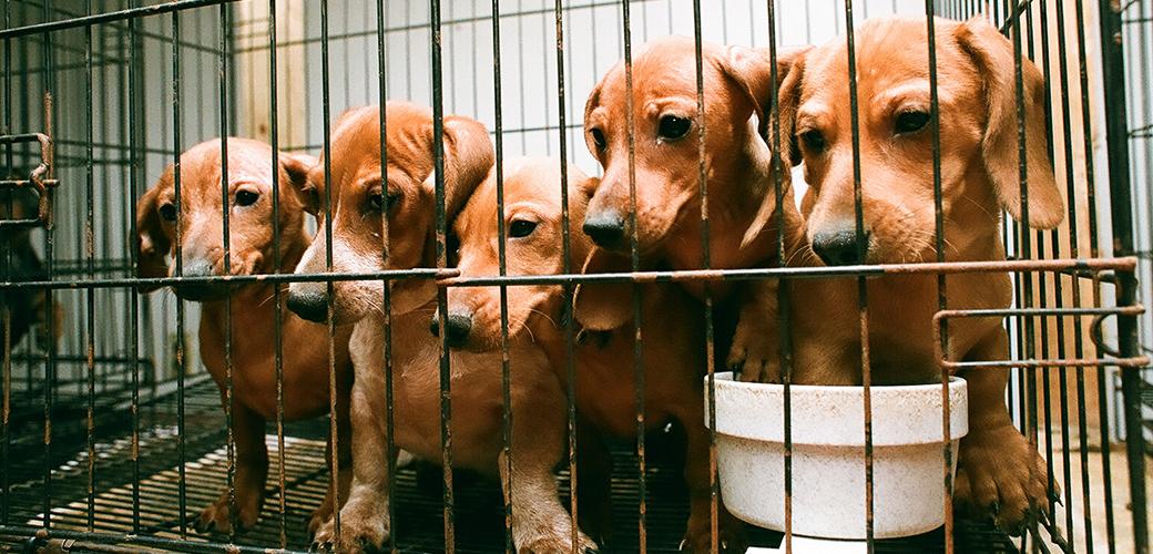 Puppy Mills   ASPCA Argumentative essay on puppy mills