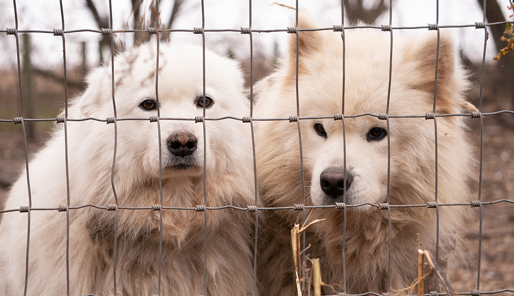 two Samoyeds behind a wire fence