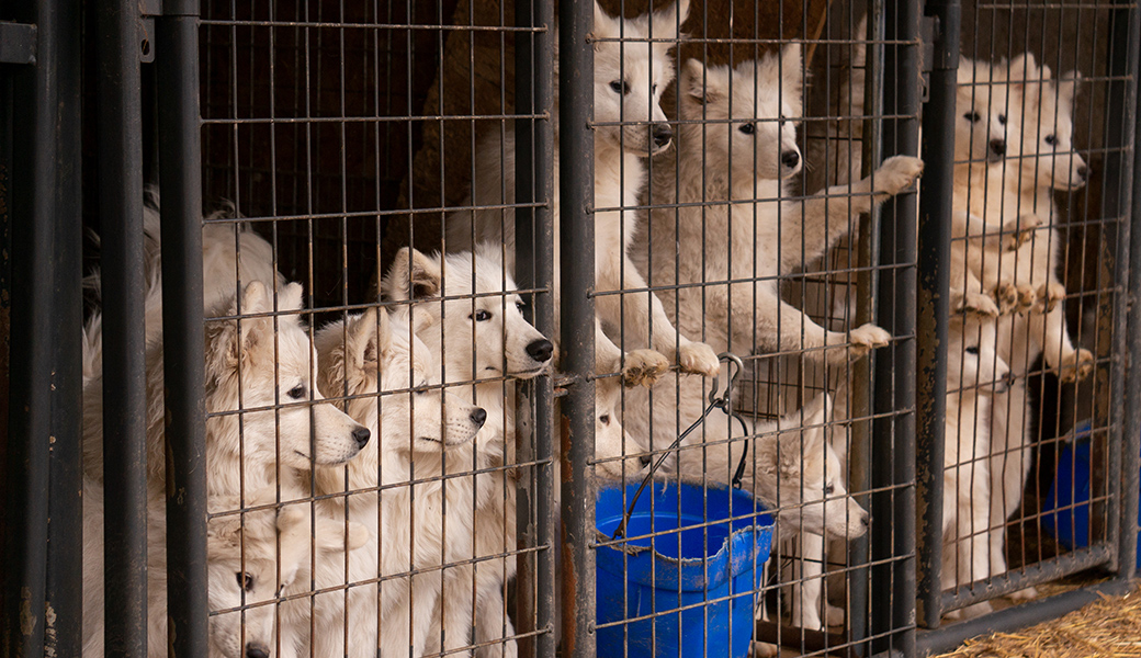 Samoyeds in overcrowded kennels