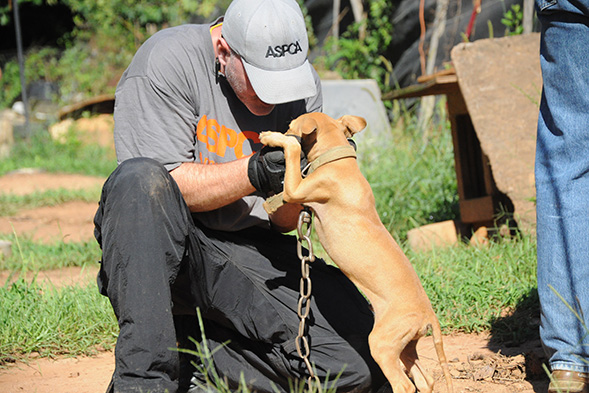 ASPCA FIR responder tending to puppy on dog fighting raid