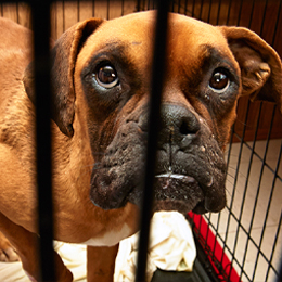 Dog in wire cage