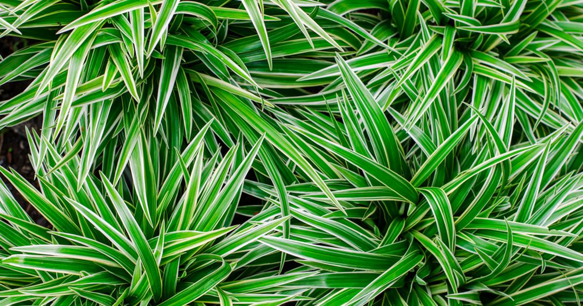 ribbon plant chlorophytum comosum aspca. Black Bedroom Furniture Sets. Home Design Ideas