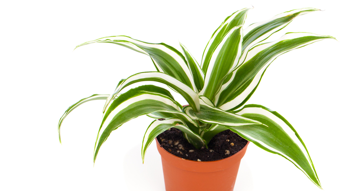 Providing Tree And Plant Care: Ribbon Plant
