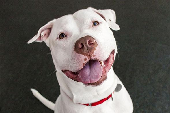 Smiling white pit bull
