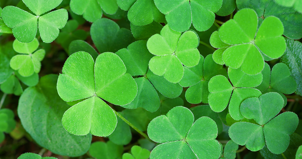 Shamrock Plant on kidney placement