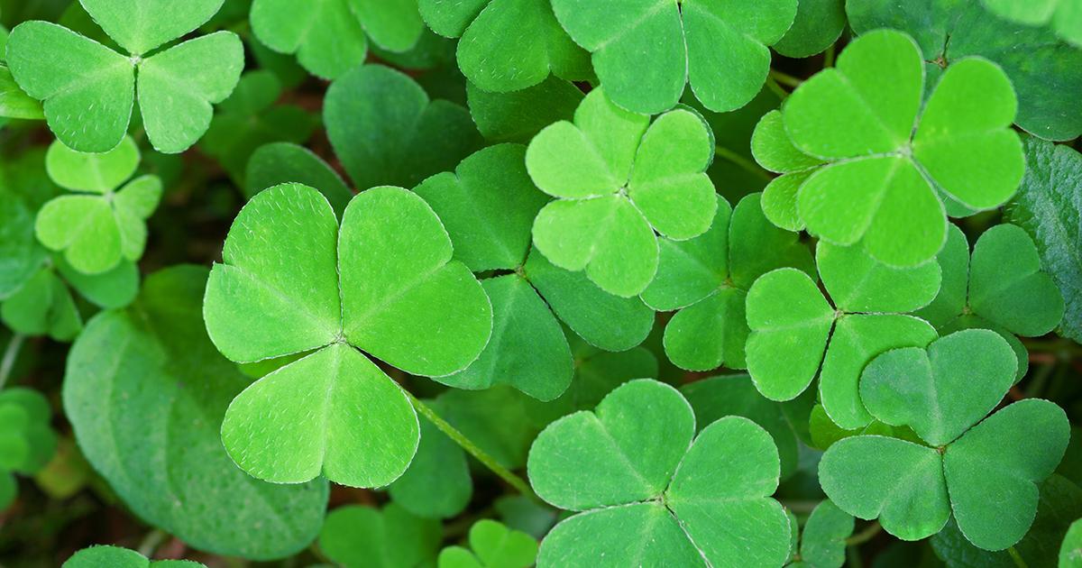 Shamrock plant aspca - Shamrock houseplant ...