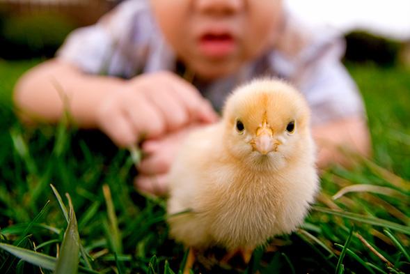 Small yellow chick