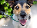 terrier in green collar on a leash wallpaper