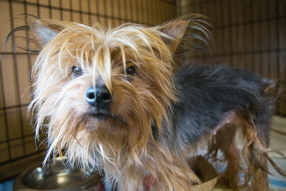 Small and thin puppy mill dog in cage
