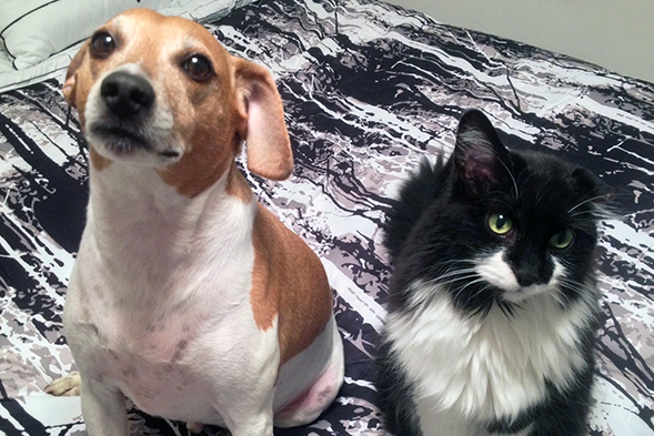Beagle and tuxedo cat hanging out