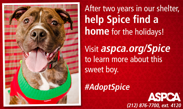 Spice Adoptable ASPCA Dog