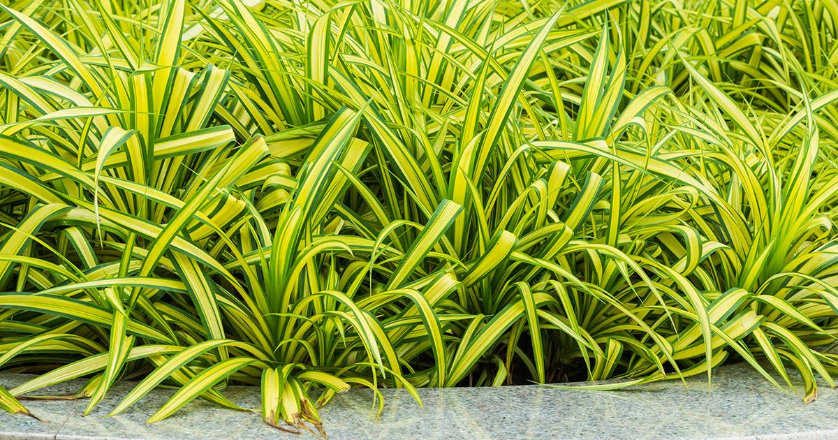 Spider plant aspca for Non toxic ferns