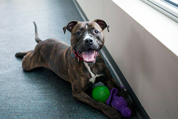 Brindle pit bull laying on floor with toys