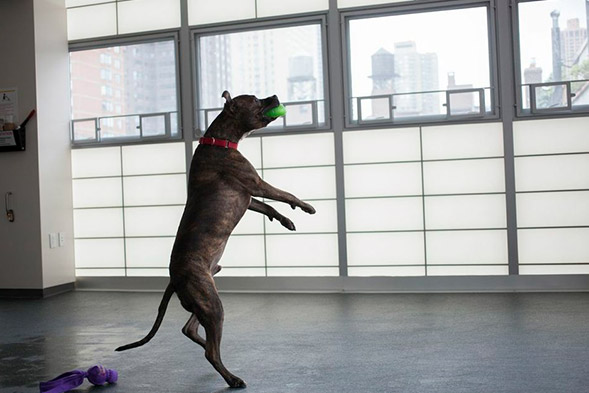 Dog jumping to catch ball