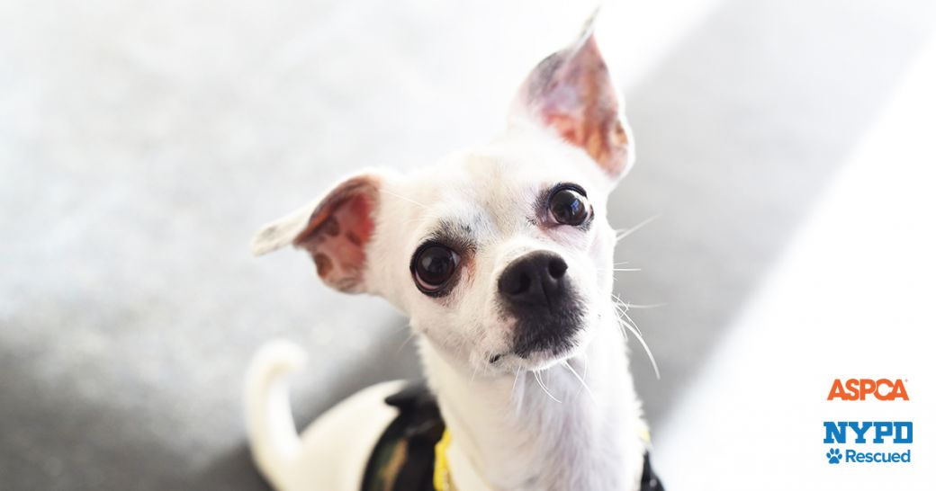Small Dogs To Adopt Nyc