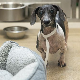 A Duo of Dachshunds Find Homes for the Holidays