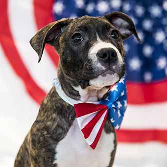 a brindle dog with an american flag bowtie