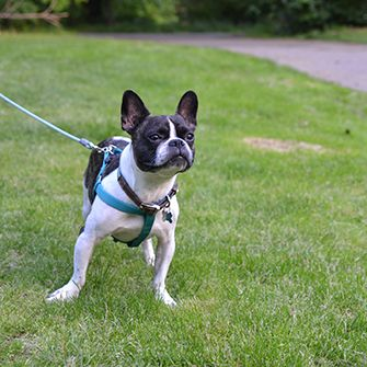 a french bulldog on a walk in the park