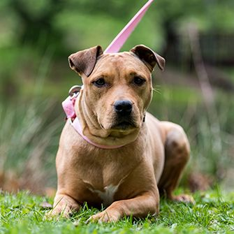 a pitbull on a pink leash resting on grass