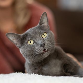 a grey cat looking at the camera with a woman in the background