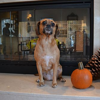 a puggle and a small pumpkin