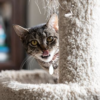 a cat look past a scratching post licking their lips