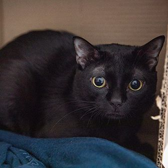 a black cat in a box with navy blue blanket