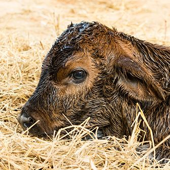 USDA rule protects vulnerable calves