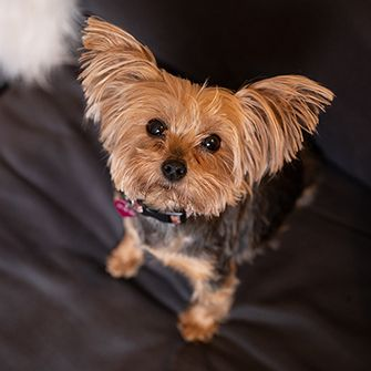a yorkie looking up