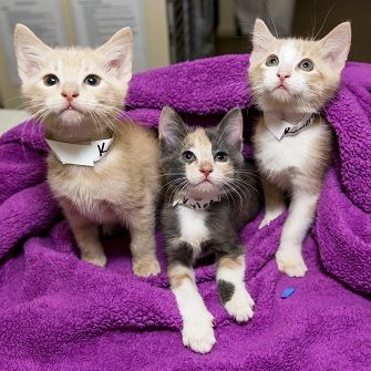 Neonate kittens on a purple blanket