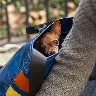 a chihuahua in a bag