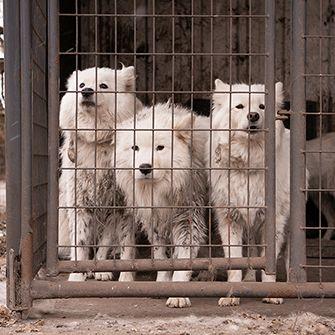 caged samoyed
